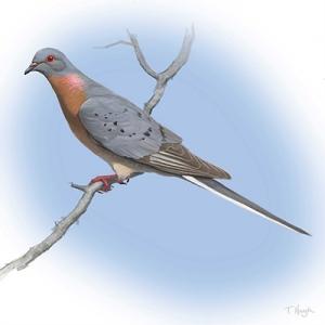 Male_Passenger_Pigeon