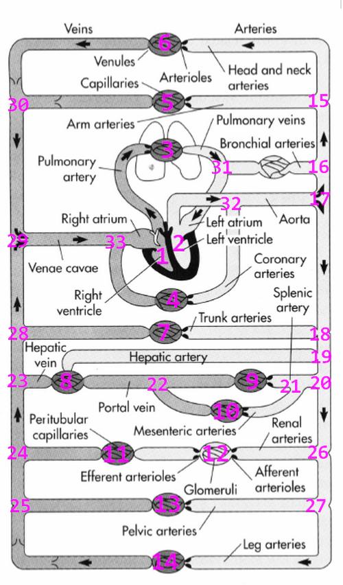 CVS_biomechanics_2015-09-13_163921_Shandas2004_markup_virtual