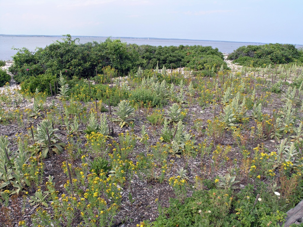 """Photograph by Professor Peter Del Tredici of """"the beach on Fisher's Island off the coast of Connecticut — not a native plant anywhere."""""""